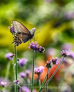 Butterfly_DSC2837