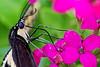 Swallowtail 5