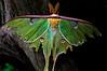 Luna Moth 1