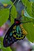 Cairns Birdwing Butterfly 2