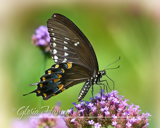 BlackSwallowtail_GLO6321