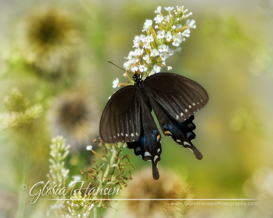BlackSwallowtail_GLO6555