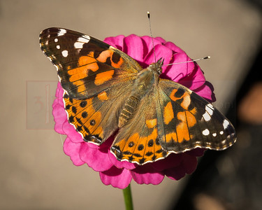 Painted Lady, Butterfly