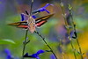 Hummingbird Moth Impression