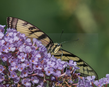 Yellow Tiger Swallowtail, Butterfly