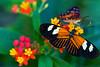 Postman Butterfly 4