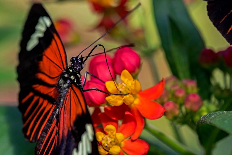 Postman Butterfly 1