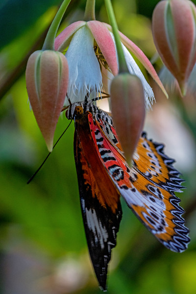 Red Lacewing Butterfly 1