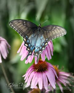 Butterfly_DSC3651-8x10