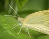 Yellow Butterfly 01 (jpeg)-2