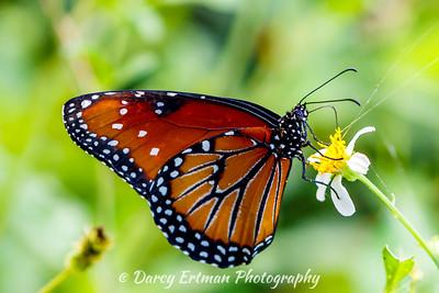 Milkweed butterfly III