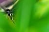 Swallowtail 8