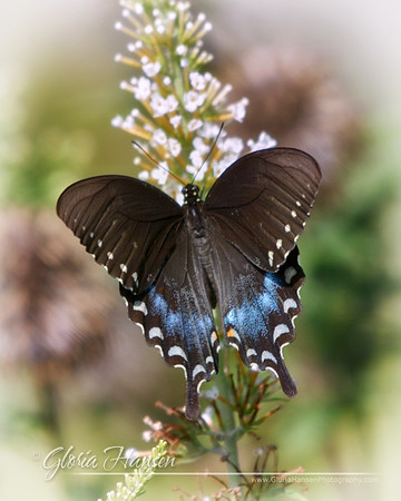 BlackSwallowtail_GLO6541-8x10