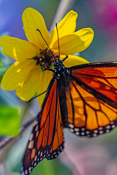 Monarch Butterfly Pastel