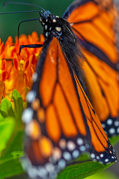 Monarch Lunch 1