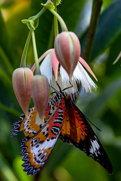 Red Lacewing Butterfly 2