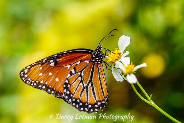 Milkweed butterfly II