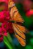 Butterfly Orange 2