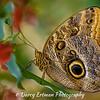 Owl Butterfly V