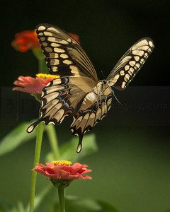Black Swallowtail, Butterfly
