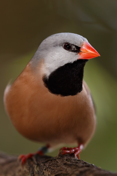 Shaft Tail Finch-9012