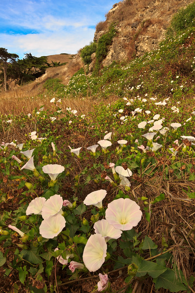 Island Morning Glories, Santa Cruz Island