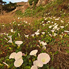Island Morning Glories, Santa Cruz Island