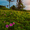 Sandy Beach Morning Glories