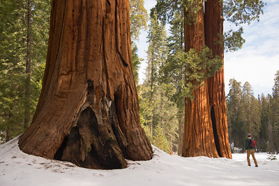 Hiking past massive Sequoia trees in the Giant Forest in Sequoia National Park.