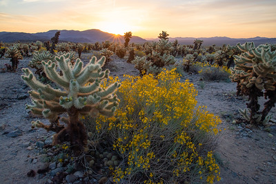Cholla cactus among spring wildflowers in Joshua Tree National Park in California.