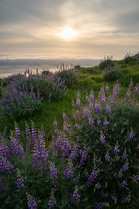Lupine cover the high ridges above the foggy Pacific Ocean in Big Sur.