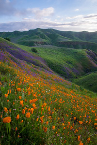 California poppies cover the typically dry coastal hills of southern California during a superbloom.