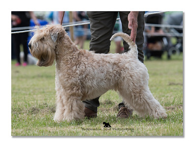 Post Graduate Dog or Bitch - 1st, Best of Breed & Terrier Group 2