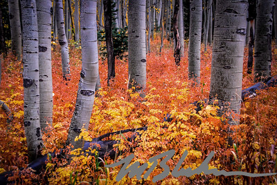 Aspen Trunks and Autumn Underbrush