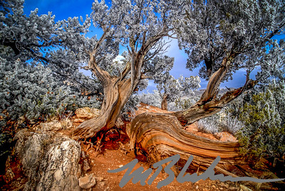 Frost covered Juniper in the Garden of the Gods