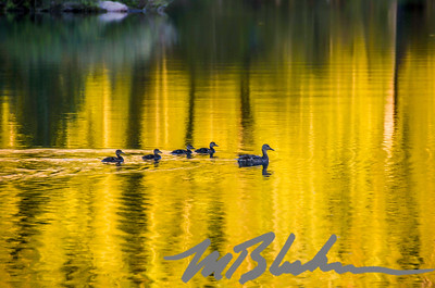 Ducks on Alta Lake at Sunset