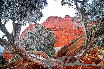 Frosted Juniper arches around the Kissing Camels Rock formation in the Garden of the Gods Park