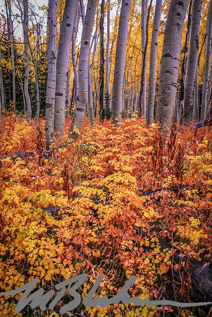 Aspen Trees and Colorful Underbrush