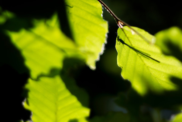 Damsel Fly Silhouette on Beech Leaf