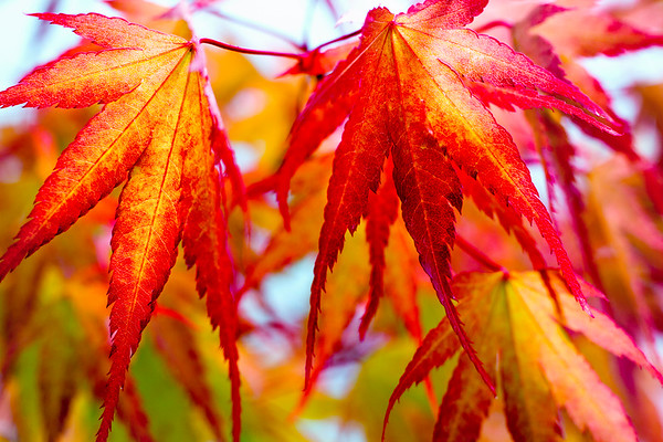 Autumn Acer Leaves