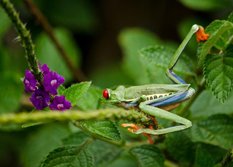 Tree Frog 7