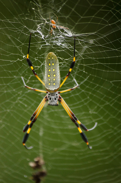 The Golden Orb Spider (also known as the Banana Spider) although rather large, is not generally harmful to humans.