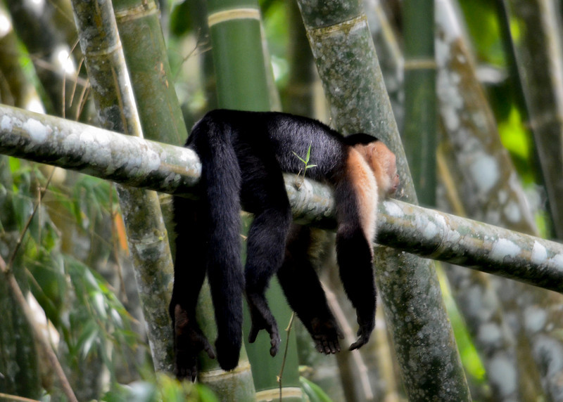 Lazy Capuchin