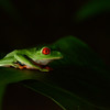 Red Eyed Tree Frog. I was happy to get this picture with only a headlamp to light the frog in the dark.