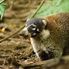 The Coatis dig for crabs. Here you can see the legs of dinner sticking out of this furry girls mouth. Coati males tend to live solitary while the females tend to travel in packs of 8-10. These guys are an adorable cross between a raccoon and lemur.
