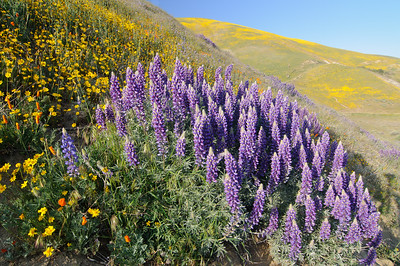"""Lupine in the Gorman Hills"" - Gorman, CA"