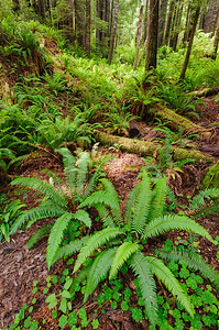 """Forest Ferns"" - Redwood National Park, CA"