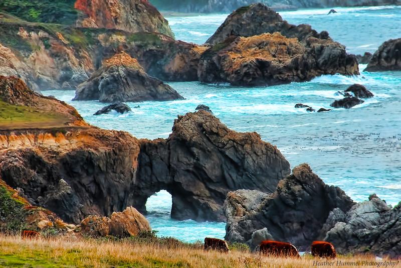 Pacific Coast Highway Cows