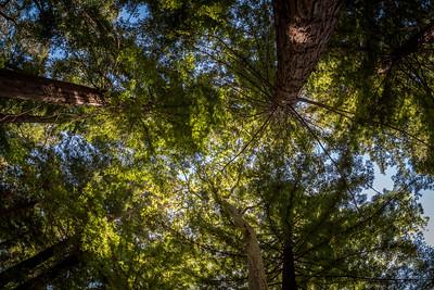 Santa Barbara Redwoods
