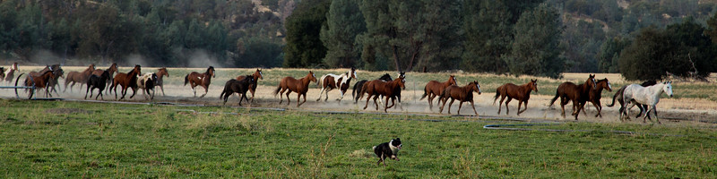 That's drover, he brought those horses back from about 1/2 mile away just at the whistle of his master.